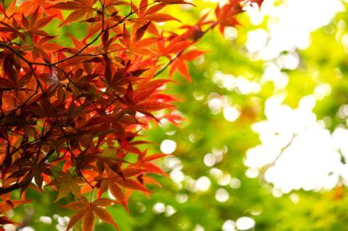 香嵐渓のライトアップでの見頃はどれくらい?