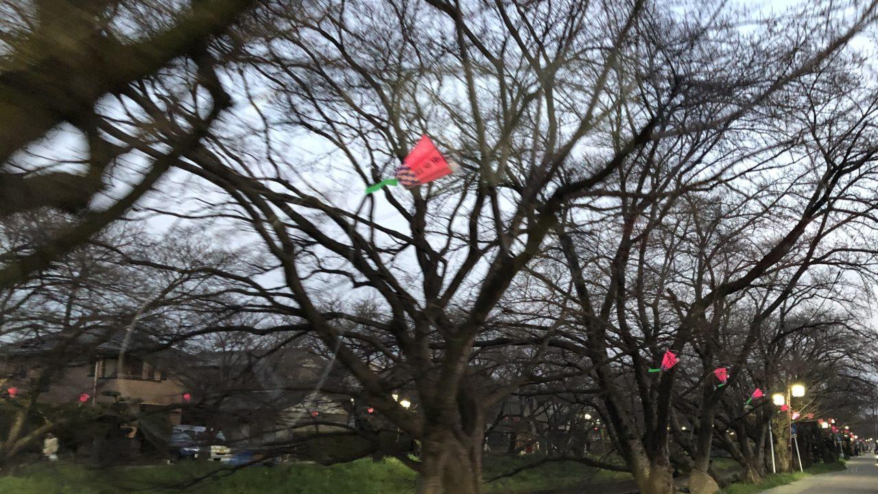 岩倉の桜まつりの時間!どれくらいなの?