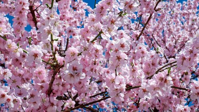 喜多方桜さくらまつりの開花状況や駐車場☆アクセスや混雑状況も!