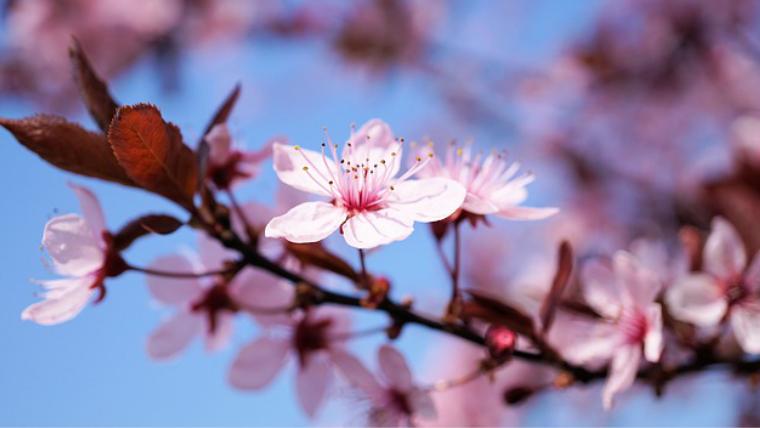 日中線の桜の開花!いつ頃が有力?どこが一番早くわかるの?