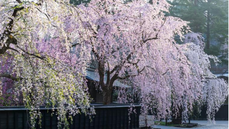 日中線のしだれ桜のツアー☆プロジェクトの内容も!写真画像あり☆彡