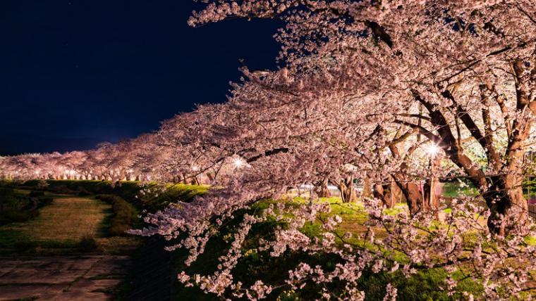 喜多方桜のライトアップ!いつから?見ごろは
