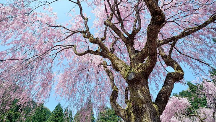 日中線のしだれ桜プロジェクト☆どんな内容?